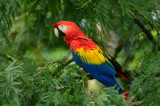 Scarlet Macaw  0114-3j  Sarapiqui