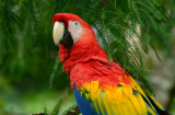 Scarlet Macaw  0114-4j  Sarapiqui