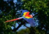 Scarlet Macaw  0114-8j  Sarapiqui