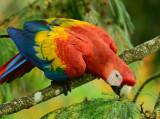 Scarlet Macaw  0614-10j  Sarapiqui