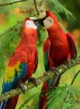 Scarlet Macaws  0614-11j  Sarapiqui