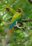 Great Green Macaw  0114-3j  Sarapiqui