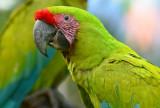 Great Green Macaw  0114-4j  Sarapiqui