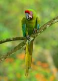 Great Green Macaw  0614-2j  Sarapiqui