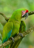 Great Green Macaw  0614-5j  Sarapiqui