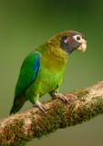 Brown-hooded Parrot  0114-6j  Lagauna dle Lagarto