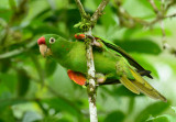 Crimson-fronted Parakeet  0614-1j  Sarapiqui