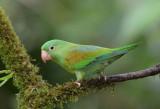 Orange-chinned Parakeet  0114-3j  Laguna del Lagarto