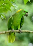 Yellow-naped Parrot  0614-4j  Sarapiqui