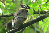 Spectacled Owl  0614-2j  Sarapiqui