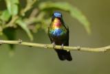 Fiery-throated Hummingbird  0114-1j  Paraiso Quetzl