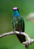 Magnificent Hummingbird  0614-2j  Paraiso Quetzal