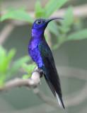 Violet Sabrewing  0614-2j  Bosque de Paz