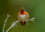 Scintillent Hummingbird  0114-2j  Savegre