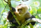 White-faced Capuchin Monkey  0114-2j  Sarapiqui