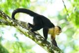 White-faced Capuchin Monkey  0114-5j  Sarapiqui