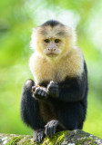 White-faced Capuchin Monkey  0114-6j  Sarapiqui