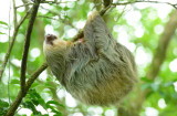 Two-toed Sloth  0614-4j  La Fortuna