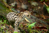 Margay  0614-11  Arenal