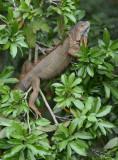 Green Iguana  0114-1j2  Florencia