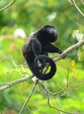 Mantled Howler Monkey  0614-4j  La Virgin Sarapiqui