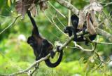 Mantled Howler Monkey Family  0614-3j  La Virgin Srapiqui