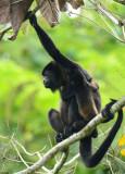 Mantled Howler Monkey  0614-1j  La Virgin Sarapiqui