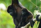 Mantled Howler Monkey  0614-15j  La Virgin Sarapiqui