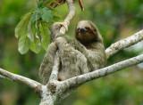 Three-toed Sloth  0614-11j  La Fortuna