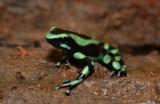 Green and Black Poison Frog  0114-1j  Laguna del Lagarto