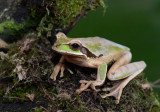 Masked Treefrog  0114-2j  Arenal Ecozoo