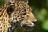 Jaguar  0114-3j  Serapiqui