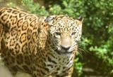Jaguar  0114-6j  Serapiqui