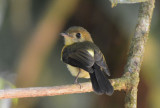 Black-tailed Flycatcher  0215-1j  Esquinas