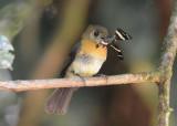 Black-tailed Flycatcher  0215-2j Esquinas