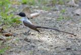 Fork-tailed Flycatcher  0215-1j  La Gamba
