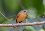 Ruddy-tailed Flycatcher  0215-1j  Dominical