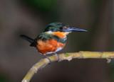 American Pygmy Kingfisher Female  0215-3j  Dominical