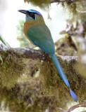 Blue-crowned Motmot  0215-3j  Las Cruces