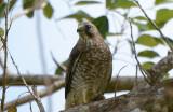 Broad-winged Hawk  0215-1j  Uvita