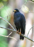 Black Hawk  0215-4j  Bosque del Cabo, Osa