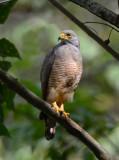 Roadside Hawk  0215-7j  Esquinas
