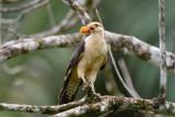 Yellow-headed Caracara  0215-5j  Bosque del Cabo, Osa