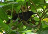 Black-hooded Antshrike  0215-3j  Osa