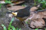 Buff-rumped Warbler  0215-1j  Esquinas