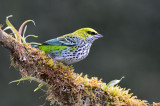 Speckled Tanager  0215-1j  Las Cruces