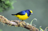 Yellow-crowned Euphonia  0215-1j  Las Cruces