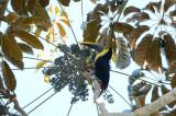 Black-mandibled Toucan  0215-4j  Uvita
