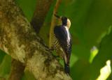 Golden-naped Woodpecker Female  0215-2j  Dominical