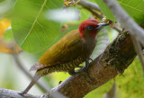 Rufous-winged Woodpecker  0215-2j  Uvita